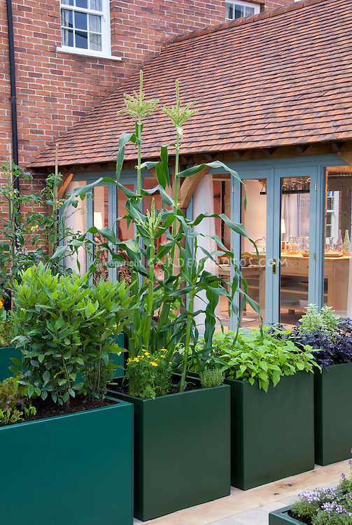 Raised bed vegetable garden with corn, herbs, and upscale house