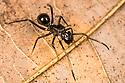 Ant-Mimic Jumping Spider (Myrmarachne sp.), Danum Valley, Sabah, Borneo. June.