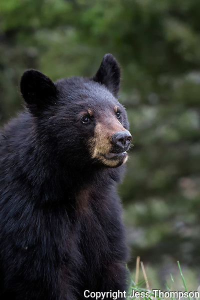 Two year old black bear cub, mother called Rosie