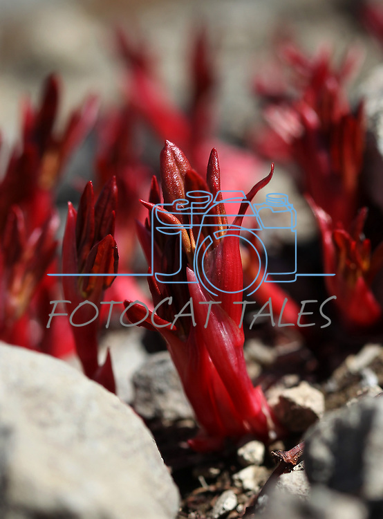 Dozens of snow plants sprout near Lost Lakes in Alpine County, near Hope Valley, Ca., on Wednesday, Aug. 24, 2011..Photo by Cathleen Allison