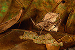 A Leaf-mimic Katydid appears to be a decaying leaf on the forest floor in Madre de Dios, Peru.