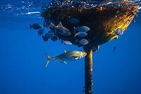 a lone yellowfin tuna, Thunnus albacares, using FAD (Fish Aggregation Device) as a shield to dodge relentless attacks by its predators, pod of false killer whales, Pseudorca crassidens, note rake marks left by the whales, Kohala Coast, Big Island, Hawaii, USA, Pacific Ocean