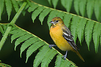 Baltimore Oriole, Icterus galbula, immature male perched on Tree fern, Central Valley, Costa Rica, Central America