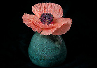 Poppy flower in vase.