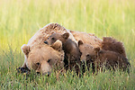 Mum gives the best cuddles.  Bear cubs cuddle into mum by Hao Jiang