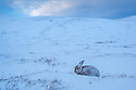 Wide angle view of Mountain Hare (Lepus timidus) on snow, Cairngorms National Park, Scotland. January.