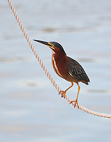 Adult green heron climbing up rope