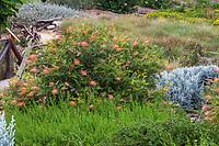 Grevillea 'Superb' flowering shrub in Crescent Farm, drought tolerant sustainable demonstation garden; Los Angeles County Arboretum and Botanic Garden