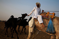 A trainer coaxes camels to the judging by giving them a treat.  Winners took home millions of dollars worth of prizes including Range Rovers.