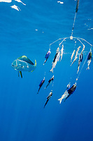 dorado, mahimahi, mahi-mahi, dolphinfish, or dolphin-fish, Coryphaena hippurus, inspects dredge array with multiple baits and lures, off Isla Mujeres, near Cancun, Yucatan Peninsula, Mexico (Caribbean Sea)