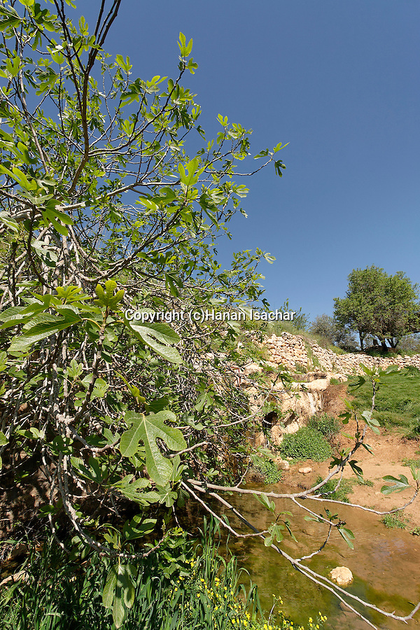 Israel, Jerusalem Mountains. A fig tree by Ein Tzuba (Tzuba spring) at the foothill of Mount Tzuba
