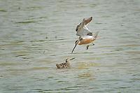 Common Snipe, Estero Llano Grande State Park, Texas