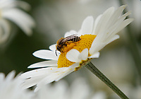 Pictured: A bee on a daisy. Friday 07 July 2017<br /> Re: Botanical Gardens in Singleton Park, Swansea, Wales, UK.