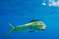 dorado, mahimahi, mahi-mahi, dolphinfish, or dolphin-fish, Coryphaena hippurus, eats a bait fish, off Isla Mujeres, near Cancun, Yucatan Peninsula, Mexico (Caribbean Sea)