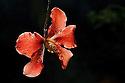 Epiphytic orchid {Dilochia parviflora} Maliau Basin, Sabah, Borneo, Malaysia.