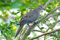 Adult mourning dove in tree