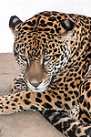 jaguar laying on large boulder looking left, close-up of face, vertical