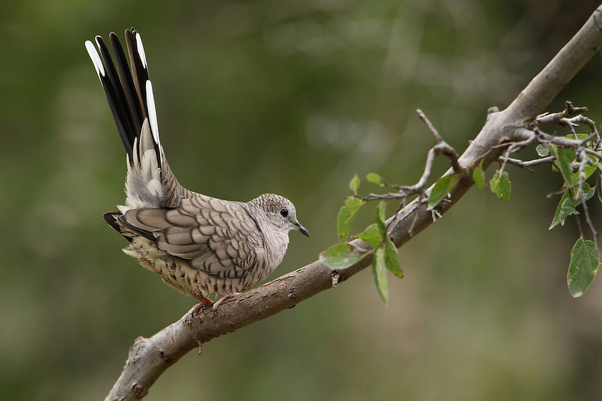 I observed the Inca Dove move to this roost from the ground. It then proceeded to lift its tail high into the air 10-12 times, pausing each time. I'd never seen this behaviour before..<br /> I think it was trying to tell me something ;-)