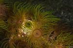 Greenish anemone with tunicates