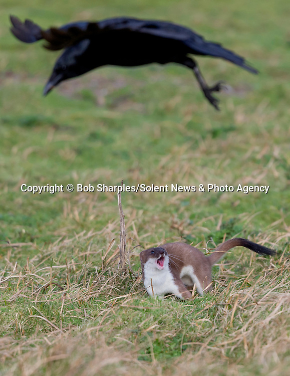 Pictured:  The stoat chasing a bird<br /> <br /> Stoat-ally mad - an acrobatic stoat somersaults through the air.  The excitable animal chased birds on the windless morning and later caught a rabbit.<br /> <br /> After making its catch, it dragged its prize to a nearby rabbit hole, away from other predators such as foxes and buzzards.  The pictures were taken at Marazion Marsh, Cornwall, by keen amateur photographer Bob Sharples.  SEE OUR COPY FOR DETAILS.<br /> <br /> Please byline: Bob Sharples/Solent News<br /> <br /> © Bob Sharples/Solent News & Photo Agency<br /> UK +44 (0) 2380 458800