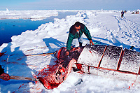 Inuit hunters strip blubber from a narwhal, Monodon monoceros, during butchering, Baffin Island, Nunavut, Canada, Canadian Arctic
