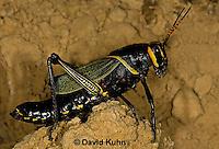 0913-0822  Adult Horse Lubber Grasshopper - Taeniopoda eques © David Kuhn/Dwight Kuhn Photography.