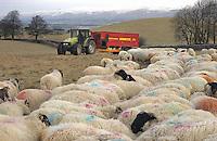 Feeding Scottish Blackface and Cheviots ewes,  Kirkby Stephen, Cumbria.