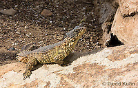 0521-1008  Sungazer Sunning Itself Outside Burrow (Giant Girdled Lizard or Giant Zonure), Cordylus giganteus  © David Kuhn/Dwight Kuhn Photography