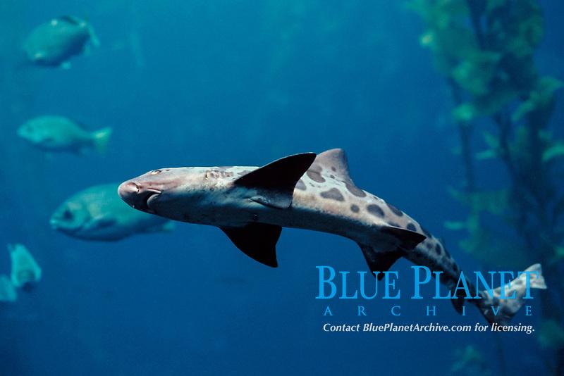 leopard shark, Triakis semifasciata ( c ), Monterey Bay Aquarium, California