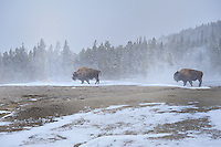 YELLOWSTONE NP, WYOMING/USA<br /> Bisons in Old Faithful Geyser area<br /> <br /> Full size: 69,2 MB