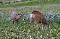 Rocky Mountain Bighorn Sheep (Ovis canadensis) ram & Mule Deer (Odocoileus hemionus) buck in wildflowers (mostly wild asters).  Glacier National Park, Montana.  Summer.