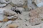 Wild female snow leopard with older cub (Panthera uncia)(sometimes Uncia uncia) feeding on kill - a domestic yak calf (Bos grunniens) with scavenging magpies (Pica pica). Ladakh Range, Western Himalayas, Ladakh, India.
