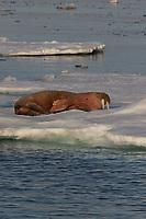 Male Atlantic Walrus, Odobenus rosmarus resting on Icefloe in Fjord near land. Storfjordrenna, Edgeoya,Svalbard Archipelago, Arctic Ocean