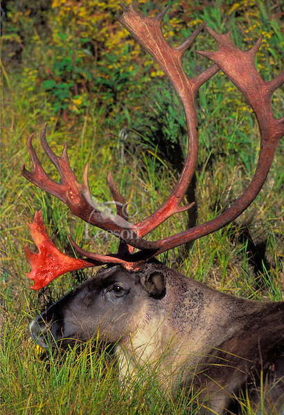 Barren-ground Caribou bull. Superficial blood on antlers follows velvet loss. This blood dries quickly and the antlers turn brown..Denali National Park, Alaska..(Rangifer tarandus granti).