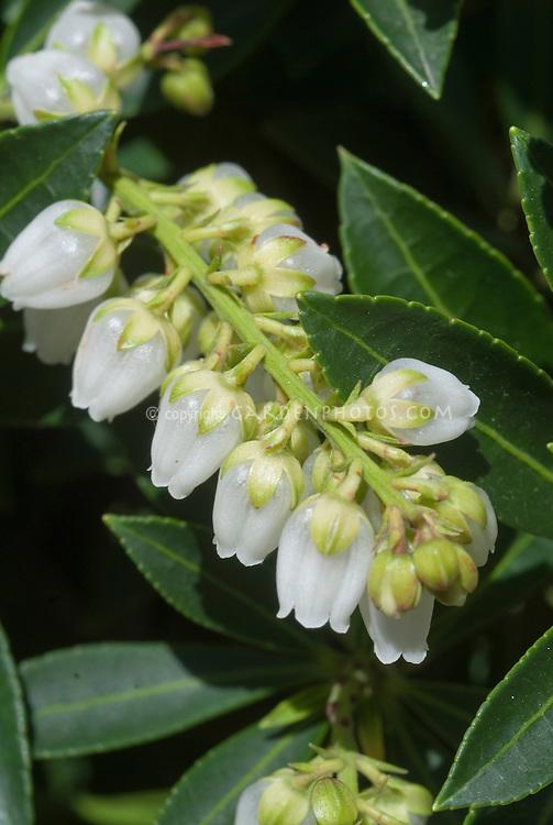 Pieris japonica 'Sugar Run Falls' Japanese Andromeda in flower, closeup of white blooms