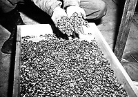 A few of the thousands of wedding rings the Germans removed from their victims to salvage the gold.  U.S. troops found rings, watches, precious stones, eyeglasses, and gold fillings, near Buchenwald concentration camp.  Germany, May 5, 1945.  T4c. Roberts. (Army)<br /> NARA FILE #:  111-SC-206406<br /> WAR & CONFLICT BOOK #:  1130