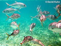 0109-1205  School of Horse-eye Jacks (Giant-eye Jack) in Caribbean Reef, Gamefish, Caranx latus  © David Kuhn/Dwight Kuhn Photography