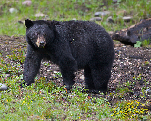 Greater Yellowstone Region Black Bear