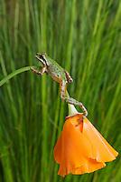Pacific treefrog (Pacific chorus frog), Hyla regilla (Pseudacris regilla) on California poppy, Eschscholzia californica