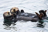 Two adult sea otters (Enhydra lutris nereis) are swimming together @ Moss Landing in the Monterey Bay National Marine Sanctuary.