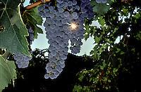 CABERNET SAUVIGNON GRAPES on the vine - CALIFORNIA.