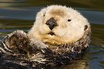 Sea Otter (Enhydra lutris) male, Elkhorn Slough, Monterey Bay, California