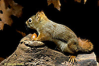 MA07-056z  Red Squirrel - making noise by acorns - Tamiasciurus hudsonicus