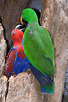 Kuranda, Queensland, Australia; Birdworld Kuranda, a male (green)/female (red) pair of Eclectus Parrots (Eclectus roratus) in a hollowed out tree, native to the Solomon Islands, Sumba, New Guinea and nearby islands, northeastern Australia and the Maluku Islands (Moluccas). It is unusual in the parrot family for its extreme sexual dimorphism of the colours of the plumage; the male having a mostly bright green plumage and the female a mostly bright red and purple/blue plumage , © Matthew Meier, matthewmeierphoto.com All Rights Reserved