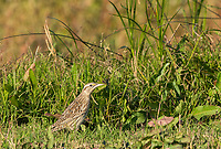 Western Meadowlark, Sturnella neglecta, perches on the ground in Sacramento National Wildlife Refuge, California