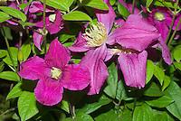 Clematis Inspiration ('Zoin') perennial climbing vine purple flowers