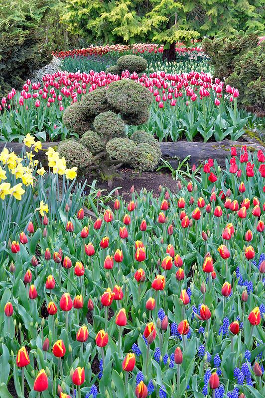 Roozengaarde display garden with mixed tulips. Mt. Vernon. Washington