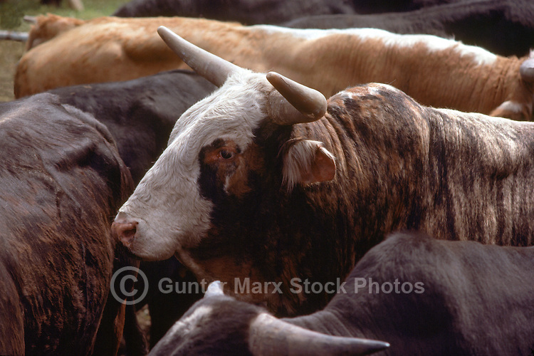 Rodeo Bulls in a Holding Corral at the Cloverdale Rodeo, Surrey, British Columbia, Canada