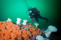 Scuba diver Suelaine Gin  swims a colorful reef covered with White and Orange Plumose Anemones  ( Metridium farcimen and Metridium senile ) underwateer in Haida Gwaii, British Columbia, Canada.