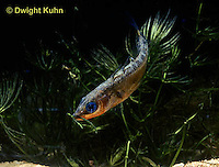 1S31-001z  Three Spined Stickleback - male carrying nest material in mouth - Gasterosteus aculeatus